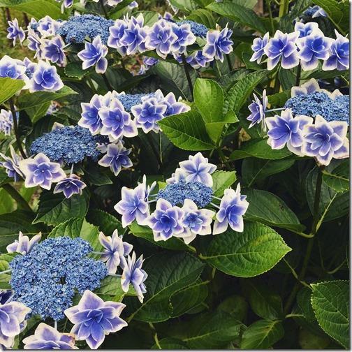 伊豆の紫陽花